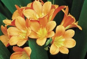 Er Clivia planter giftige for katter?